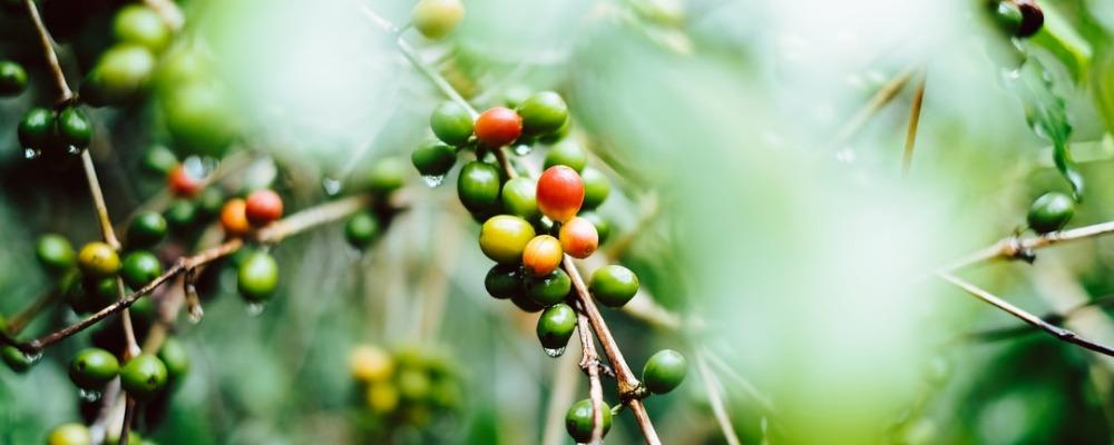 Arabica en Robusto koffiebonen